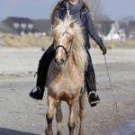 Islandpferd am Strand im Tölt