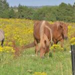 Karen Diehn Archivbild Pferde im Jakobskreuzkraut